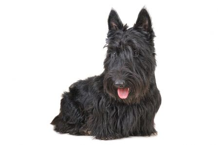 Scottish terrier puppy looking down against white background. photo