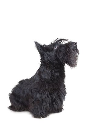 Scottish terrier puppy looking up against white background.