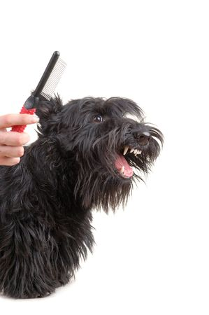 dog sitting: Scottish terrier against white background. Stock Photo