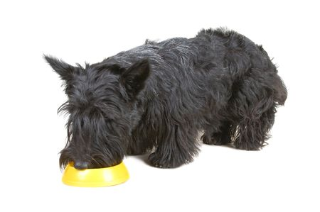Scottish terrier eating dog food against white background Stock Photo - 4149947