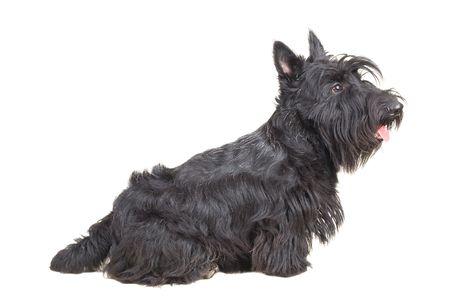 scottish: Scottish terrier puppy against white background.