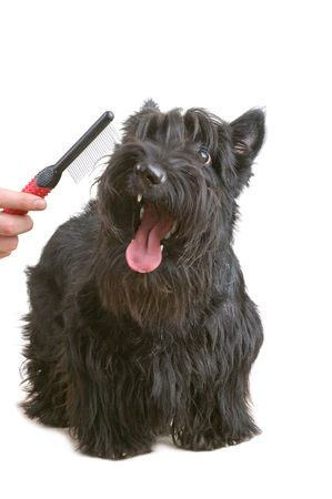 Scottish terrier against white background. Stock Photo - 4149943