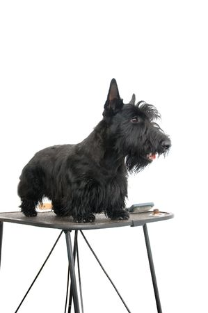 Scottish terrier against white background. Stock Photo