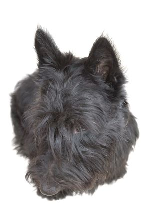 Scottish terrier puppy looking down against white background. Stock Photo - 4149952