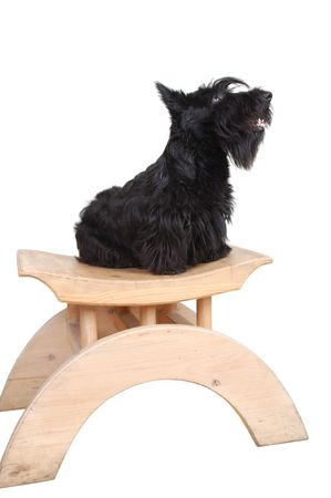 Scottish terrier puppy sitting on a wood chair against white background. Stock Photo - 4149921