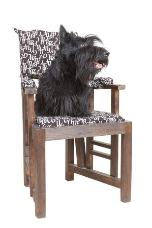 Scottish terrier puppy sitting on a chair against white background. photo