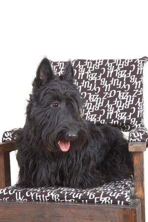 Scottish terrier puppy sitting on a chair against white background. Stock Photo - 4149954