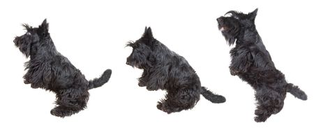 Scottish terrier puppy jumping in the air against white background. Stock Photo - 4149968