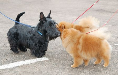 Scottish terrier puppy and two spitzs on dog show photo