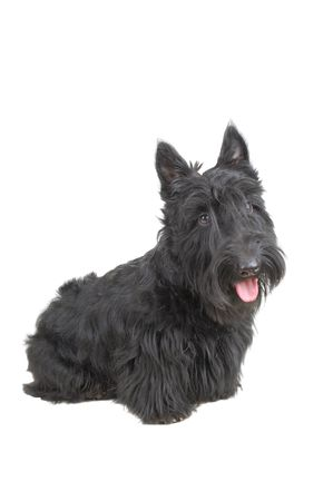 Scottish terrier puppy against white background. Stock Photo - 4218686