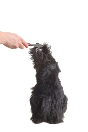 Scottish terrier puppy against white background. photo