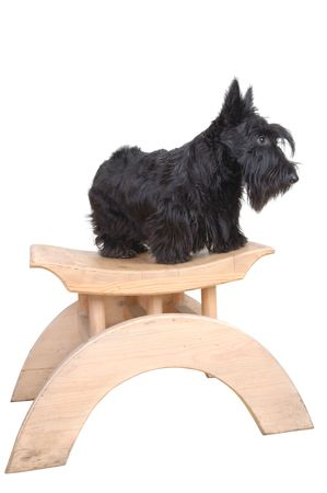 Scottish terrier puppy sitting on a wood chair against white background. photo