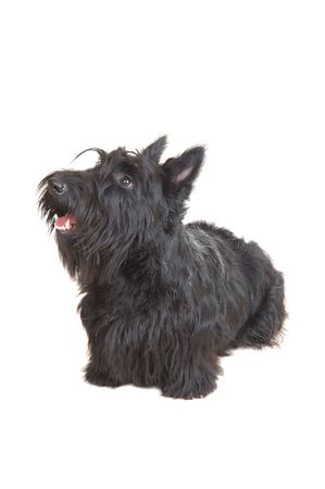 Scottish terrier puppy looking up against white background. Stock Photo - 4324568