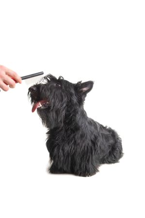 Scottish terrier puppy against white background. Stock Photo - 4493207