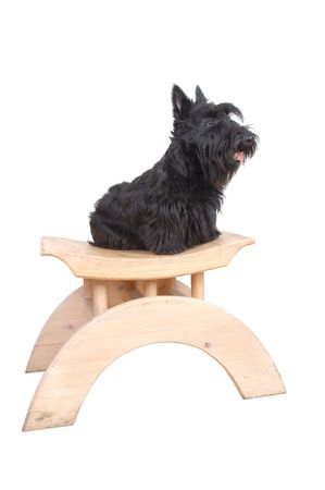 Scottish terrier puppy sitting on a wood chair against white background. Stock Photo - 4493203