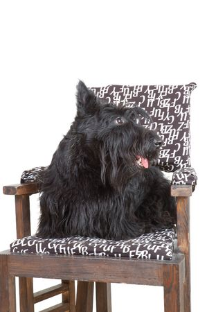 Scottish terrier puppy sitting on a chair against white background. Stock Photo - 4493379