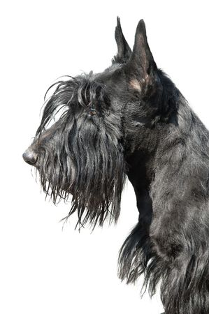 Scottish terrier puppy against white background. Stock Photo - 5042492