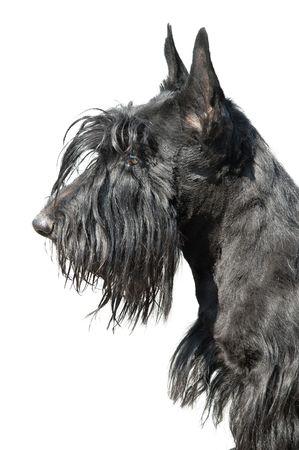 Scottish terrier puppy against white background. Stock Photo - 5042492