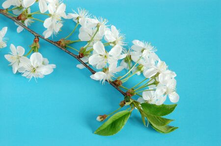 cherrytree: Cherry-tree twig with flowers on blue background