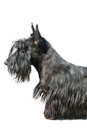 Scottish terrier puppy against white background. Stock Photo - 5148738