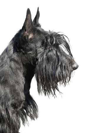 Scottish terrier puppy against white background. Stock Photo - 5617950