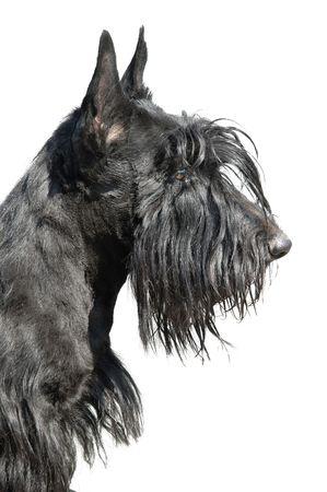 Scottish terrier puppy against white background. Stock Photo - 5617950
