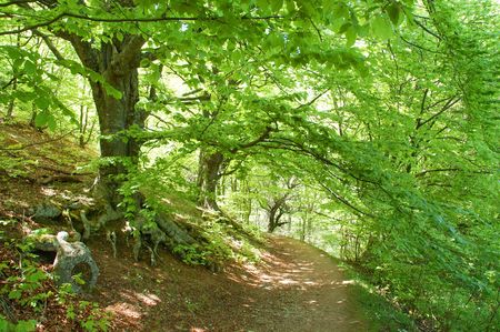 Path through the sunny green beech forest