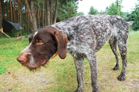 German wirehaired pointer in the green forest photo