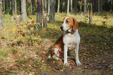 Dog hound resting on fallen leaves in the autumn forest photo