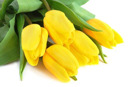 Yellow spring tulips on white background photo