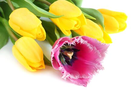Colored yellow and violet spring tulips on white background photo