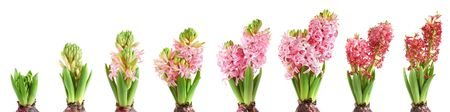wilting: Stages of hyacinth growing, blooming and fading on white background Stock Photo