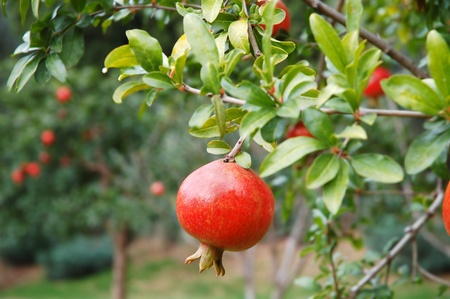 fruit tree: Red pomegranate fruit on the tree in leaves