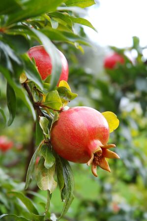 Red pomegranate fruit on the tree in leaves photo
