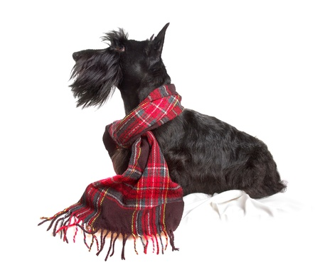 Scottish terrier in a red scarf on white background Stock Photo