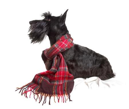 Scottish Terrier in einem roten Schal auf weißem Hintergrund Standard-Bild