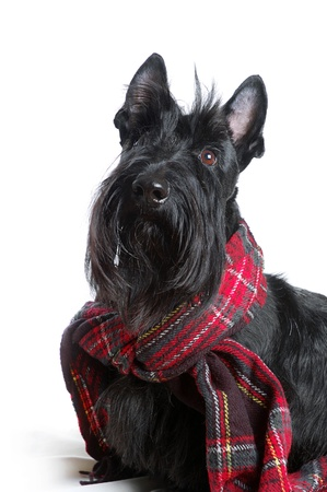 Scottish terrier in a red scarf on white background photo