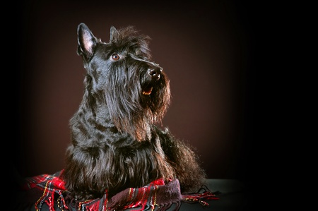 Scottish terrier on a red plaid on black background photo