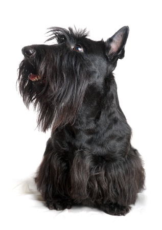 Black scottish terrier on a white background Stock Photo - 9139816
