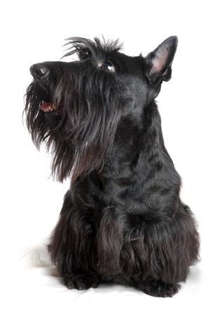 Black scottish terrier on a white background Stock Photo