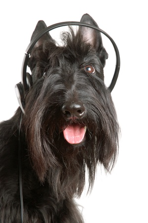Black scottish terrier with headphones on a white background photo