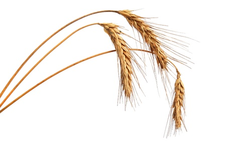 spelt: Wheat ears isolated on white background
