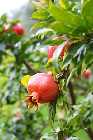 pomegranate juice: Red pomegranate fruit on the tree in leaves