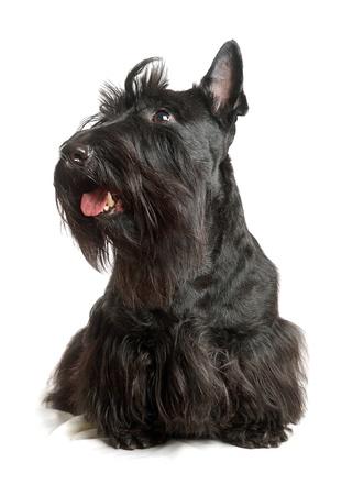Black scottish terrier on a white background photo