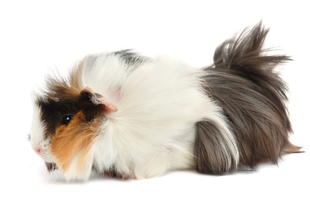 Cute pet. Guinea pig on a white background. Stock Photo - 10346372