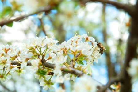 A honey bee on a white cherry tree flowers photo
