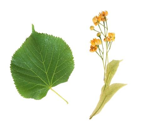 tilo: Flores Linden amarillo sobre fondo blanco