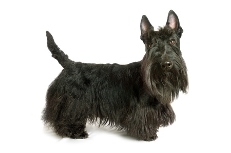 scottish: Black scottish terrier on a white background Stock Photo