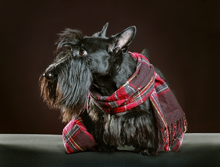 checkered scarf: Scottish terrier in a red scarf on black background Stock Photo