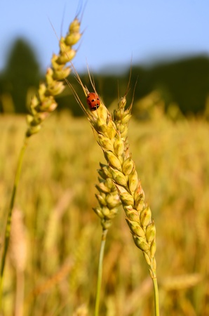 Ladybug sitting on wheat ear growing in a farm field photo